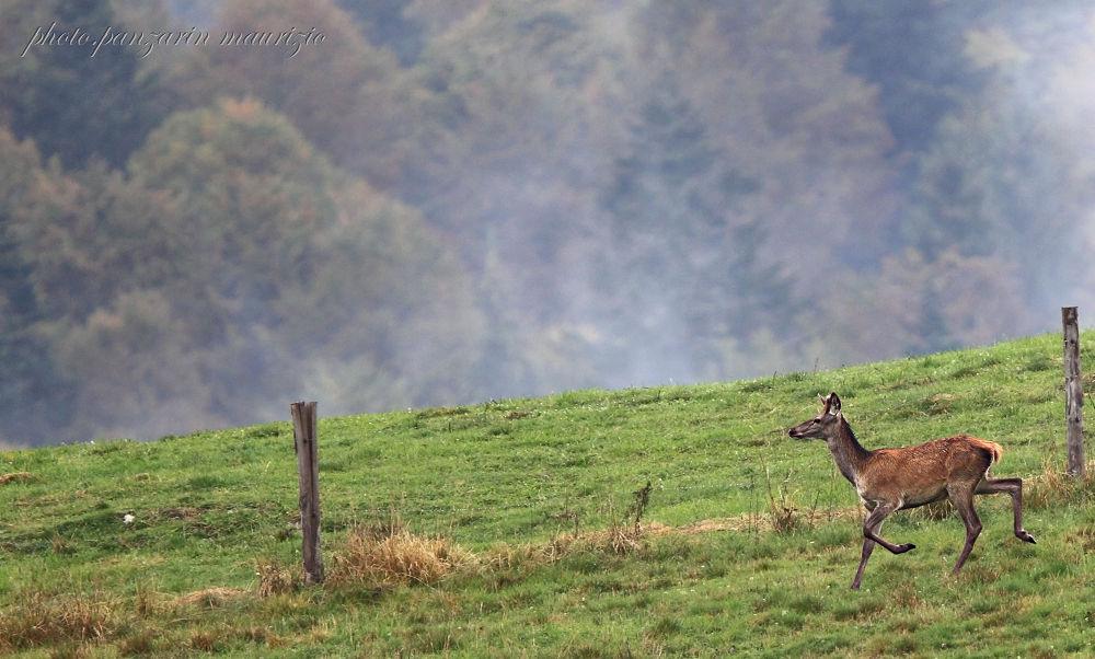 giovane cervo by mauriziopanzarin