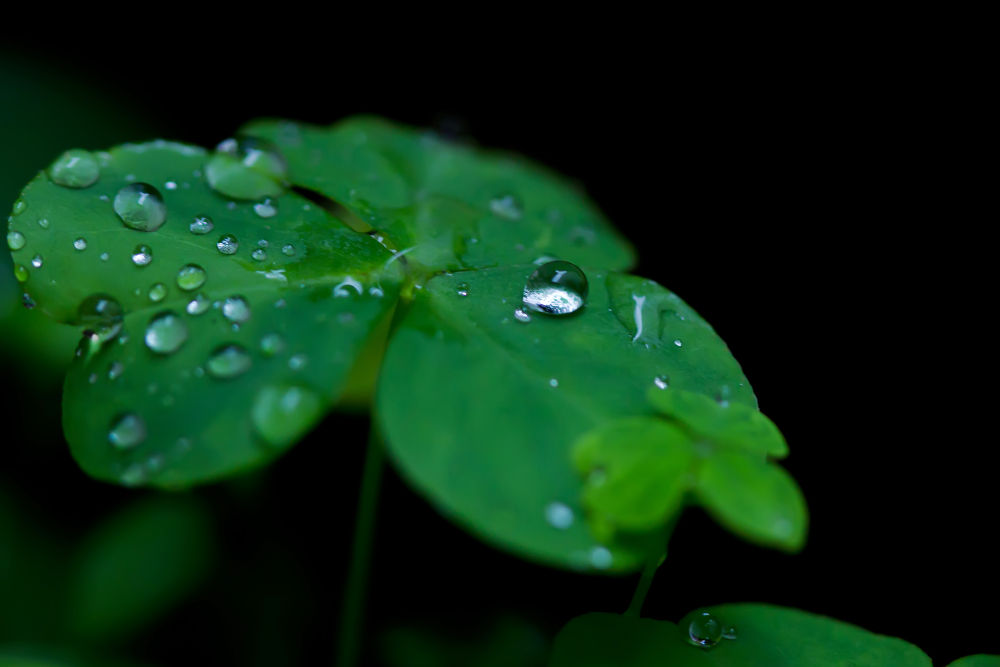 Clover after rain by Pablo Passero