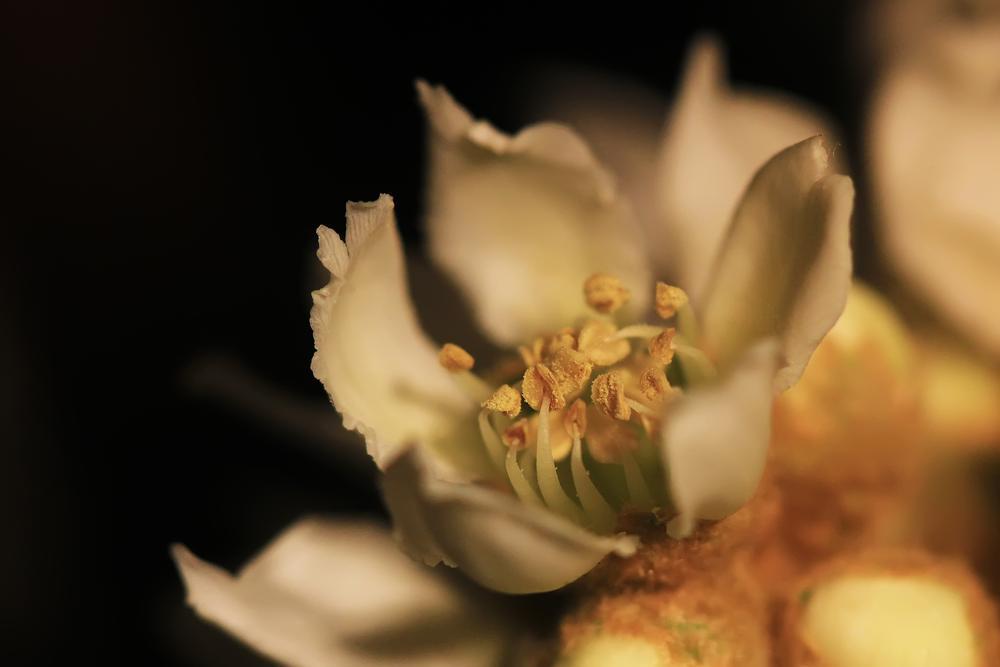 Photo in Random #nispero #loquat #flor #flower #macro