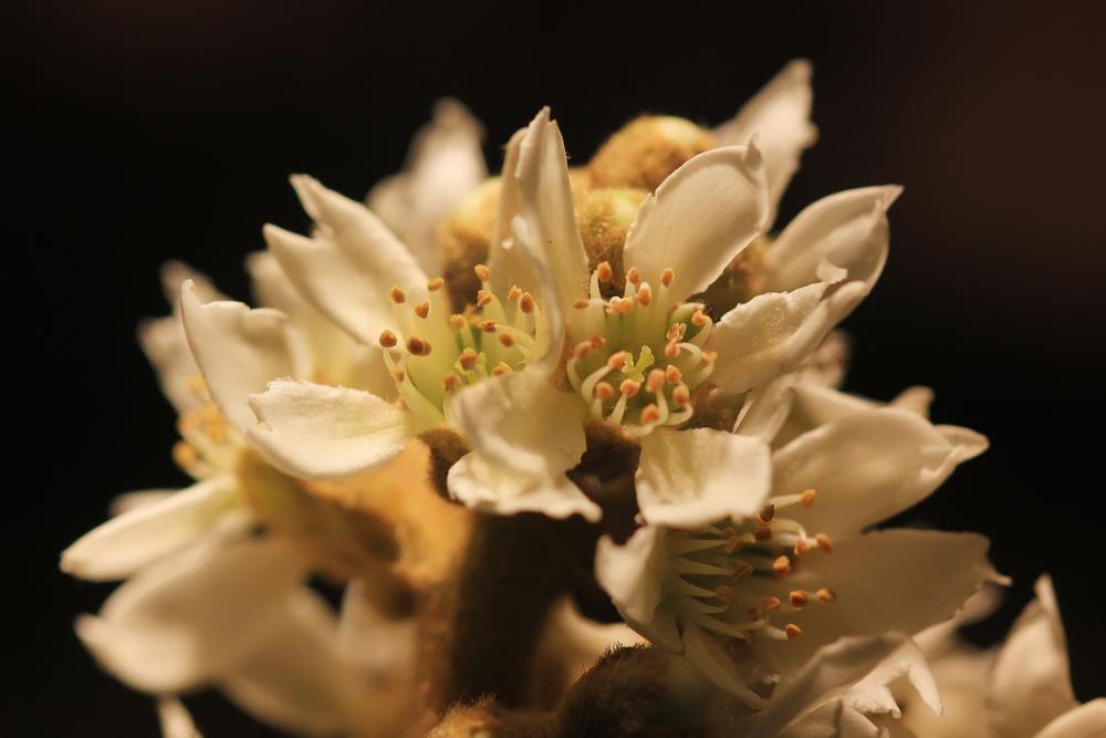Photo in Random #níspero #flor #flower