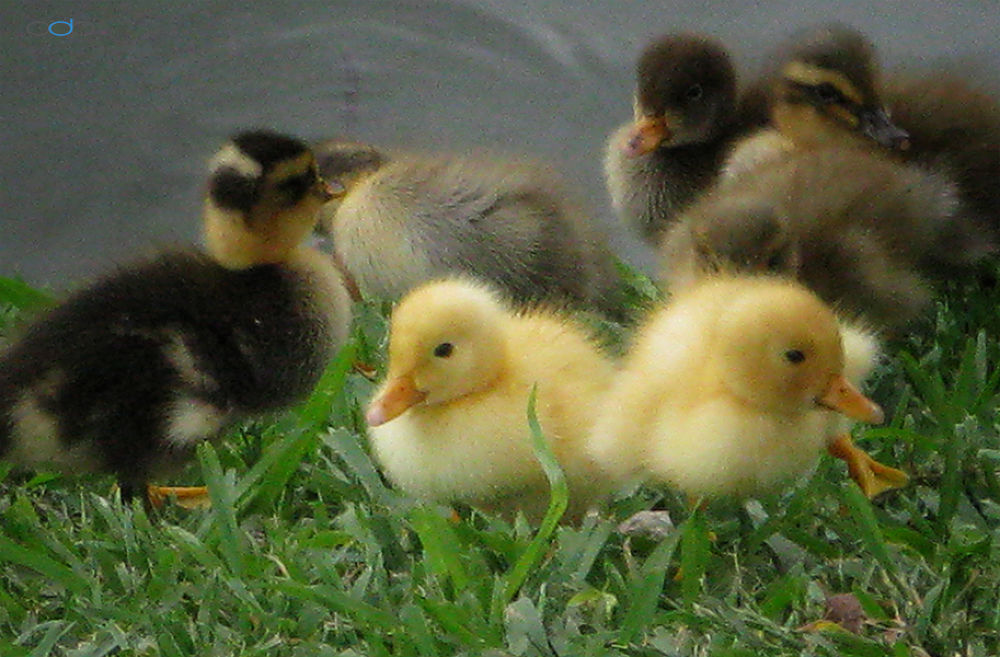 Six New Ducklings by OneDigitalPlacePhotography