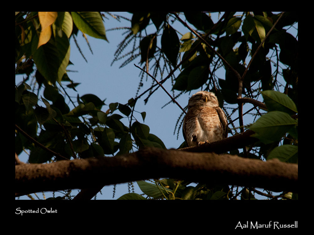 Spotted Owlet by aalmarufrussell