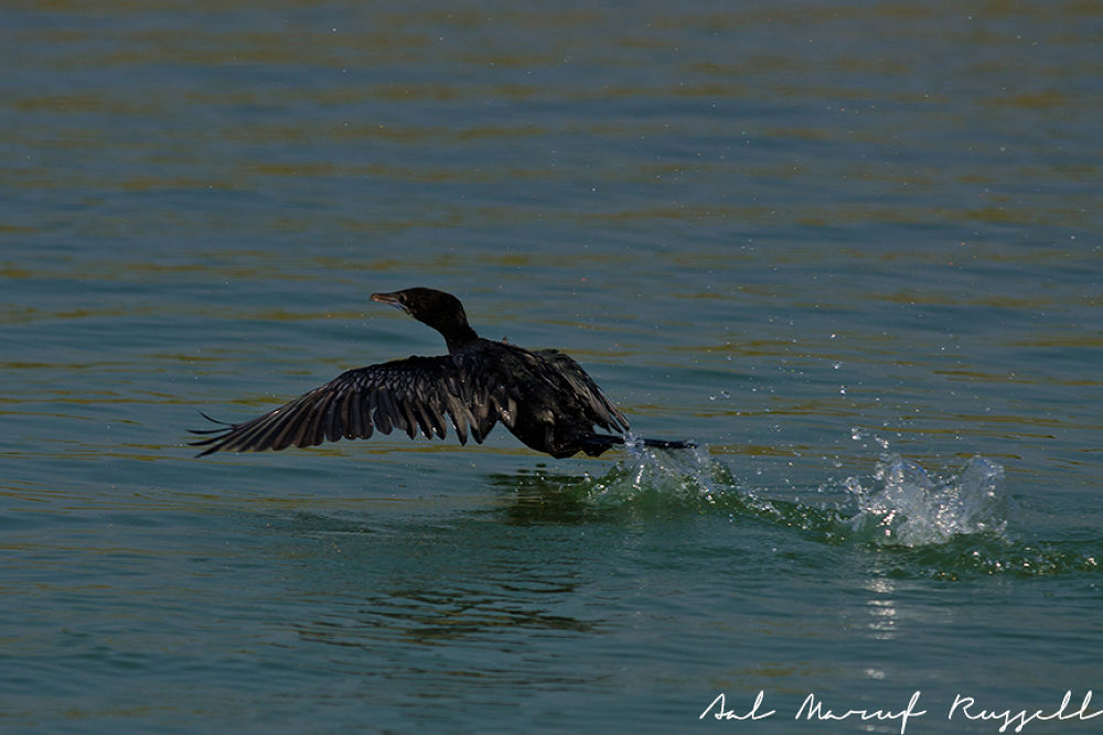 Little Cormorant by aalmarufrussell