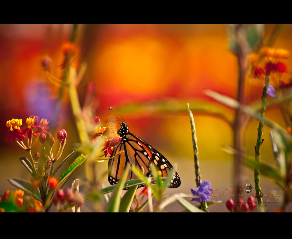 BUTTERFLY by rajphotography