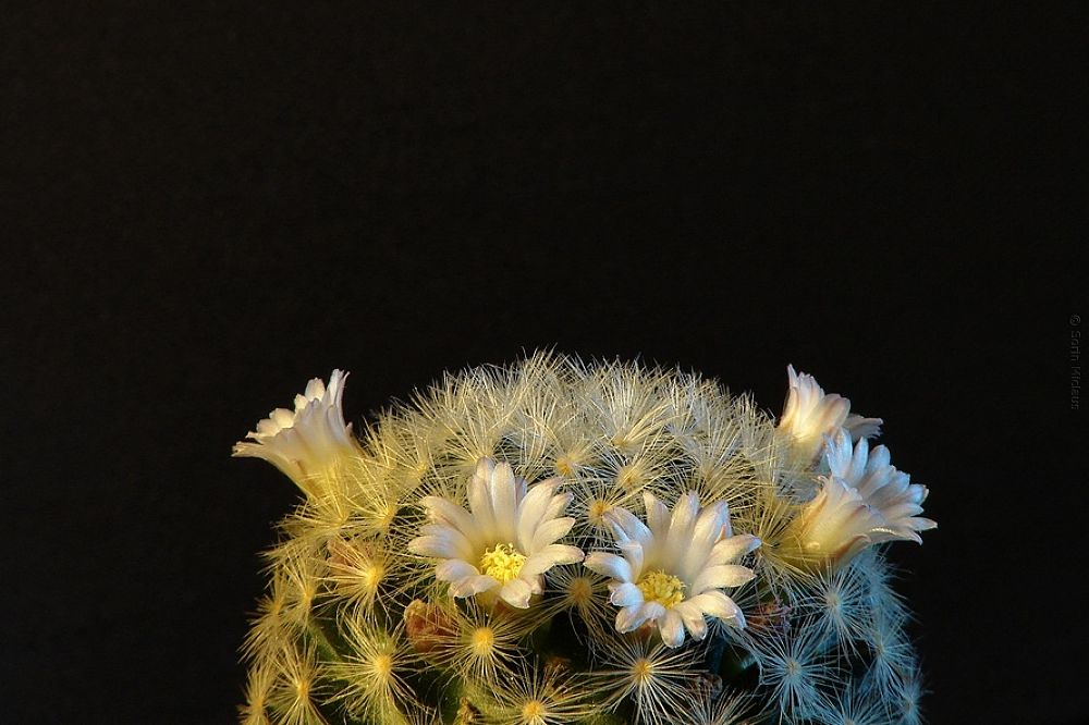 Cactus Flowers by smiclaus