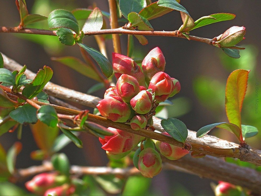 Red Buds by smiclaus