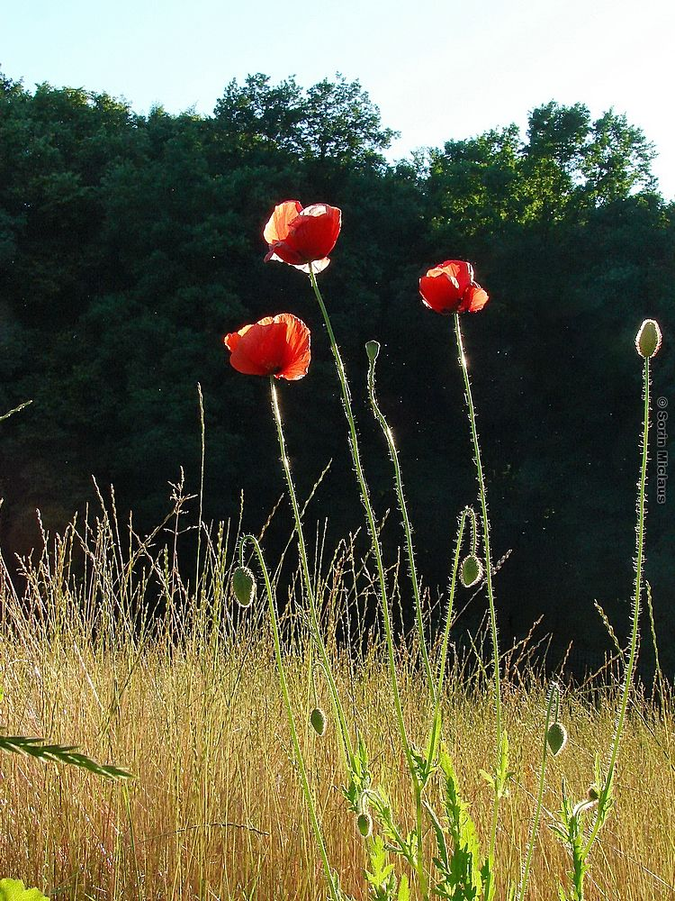 Three Poppies by smiclaus