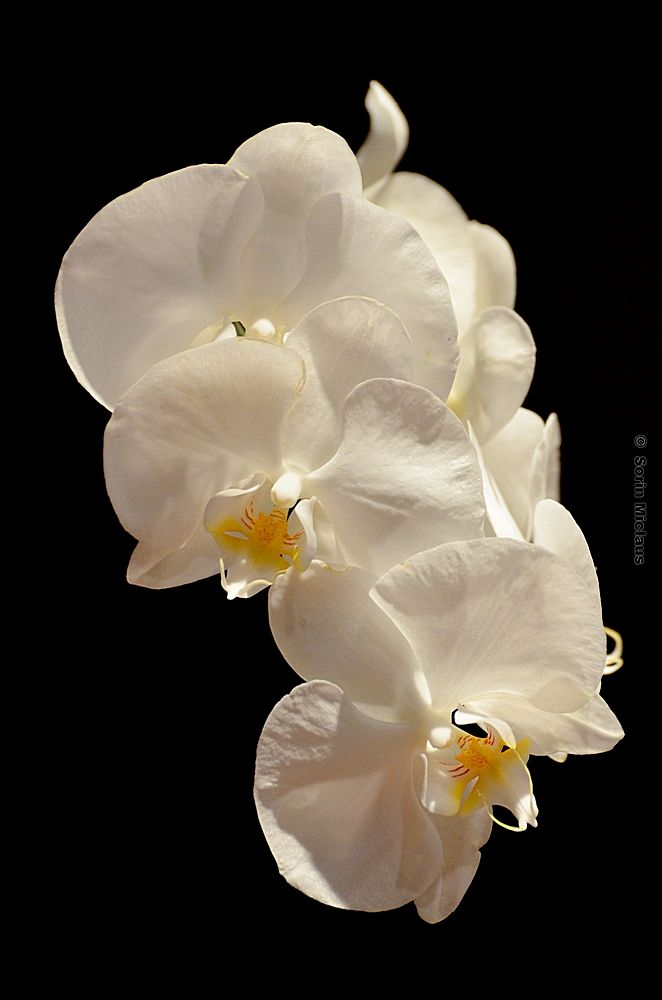 White Orchids by smiclaus