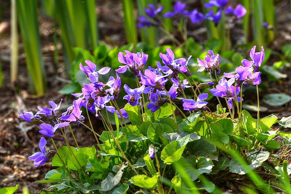 Wood Violet by smiclaus