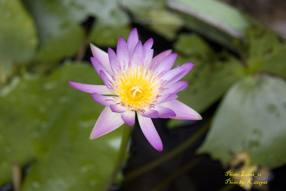 Lotus_12.jpg by kittipatboonchim