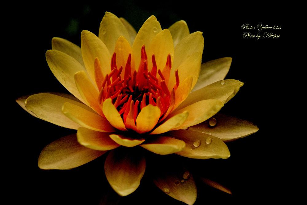 Yellow lotus.jpg by kittipatboonchim