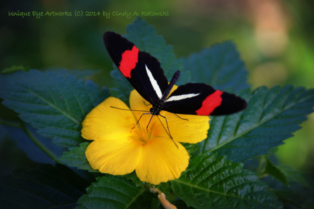 "A ""Postman"" Butterfly on a Bahama Buttercup by cindyaratowski"