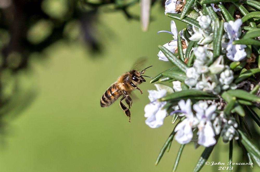 Busy Bee by John Torcasio