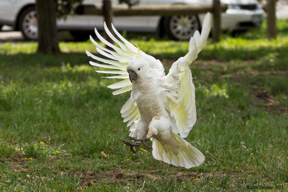 Sulphur-crested Cockatoo by John Torcasio