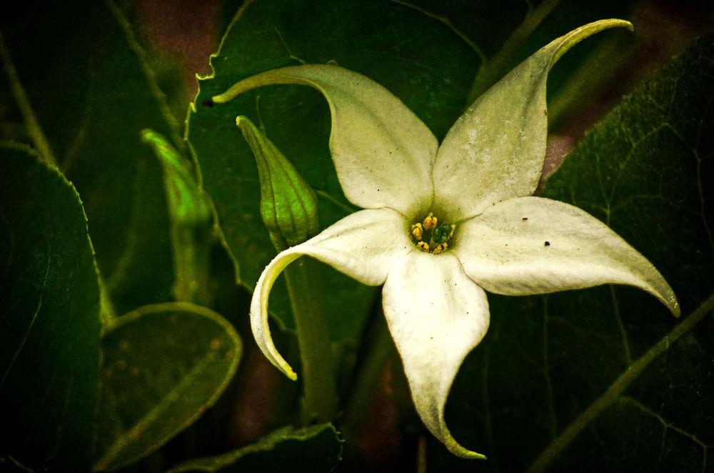 Photo in Random #d5100 #55-200mm vr #fine art #flower #white #isle of wight #ventnor botanic garden #plant #garden #lightroom #perfect effects #ventnor