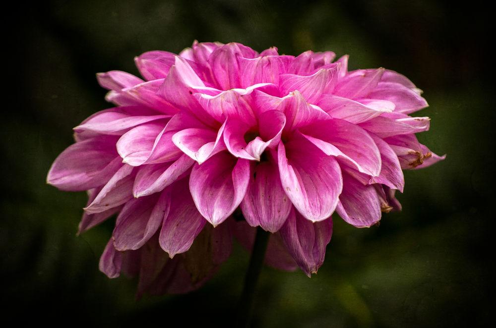 Pink Dahlia by garryknight