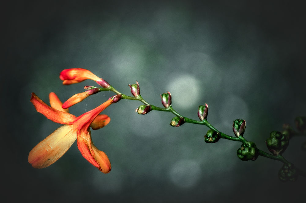 Photo in Random #nikon #d5100 #55-200mm vr #flower #plant #reach #red #orange #fine art #garden #ventnor #ventnor botanic garden #isle of wight #lightroom #perfect effects