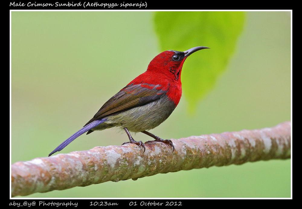 Male Crimson Sunbird (Aethopyga siparaja) 黄腰太阳鸟 (雄) by zhongyingkoay