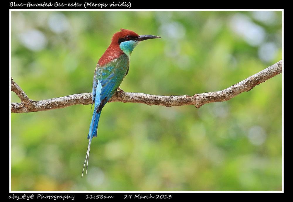 Blue-throated Bee-eater (Merops viridis) 蓝喉峰虎 by zhongyingkoay