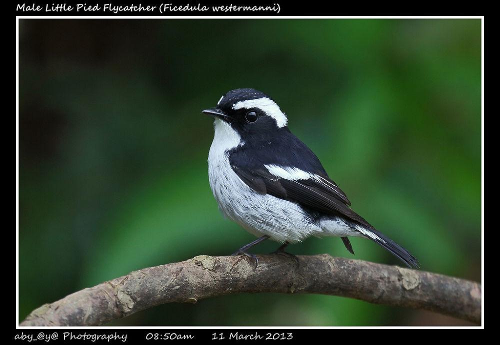 Male Little Pied Flycatcher (Ficedula westermanni) 小斑姬鹟 (雄) by zhongyingkoay
