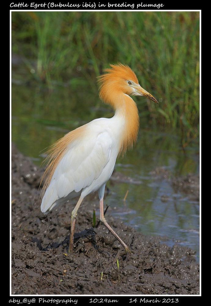 Cattle Egret (Bubulcus ibis) in breeding plumage 牛背鹭 / 黄头鹭 / 牛违鹭 by zhongyingkoay