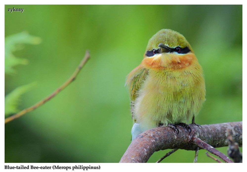 Blue-tailed Bee-eater (Merops philippinus) 栗喉蜂虎 by zhongyingkoay