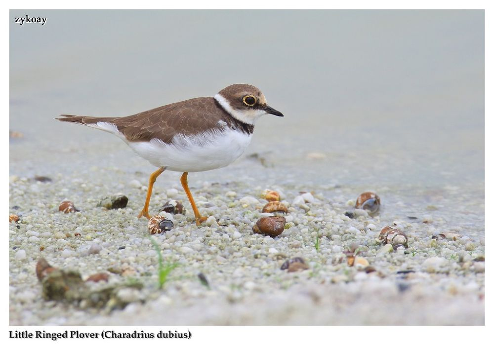 Little-ringed Plover (Charadrius dubius) 小环颈鸻 by zhongyingkoay