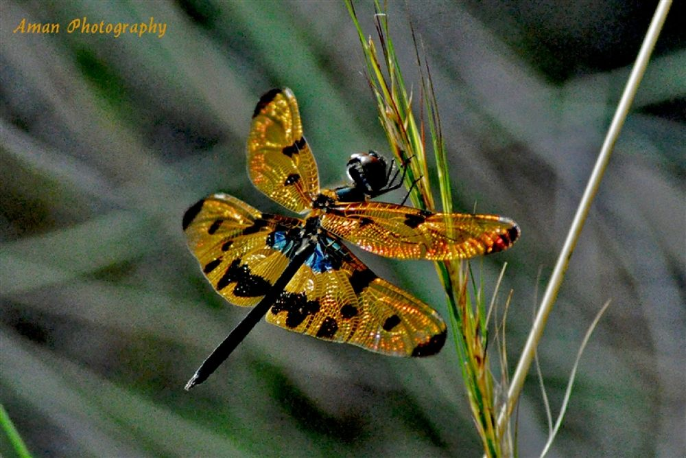 dragon fly 2wings by hugme1time
