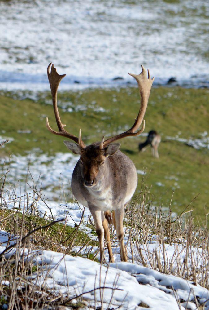 Fallow Deer by Mart  R Porter