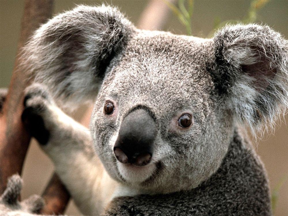 Koala by andreasivarsson