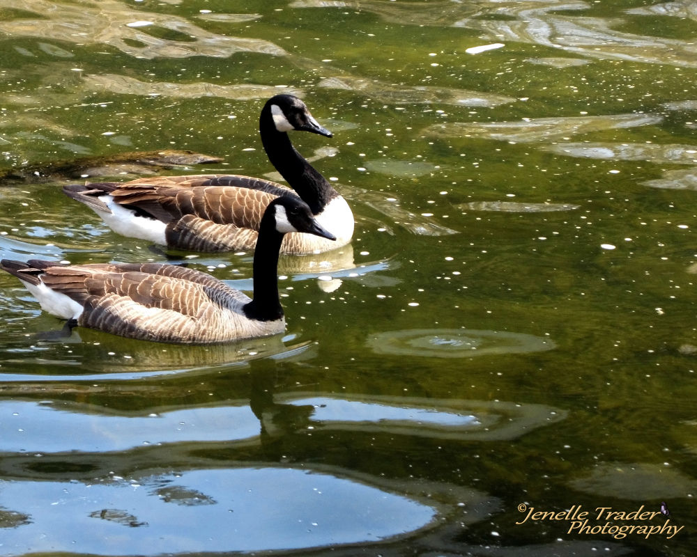 Geese by Jenelle Trader