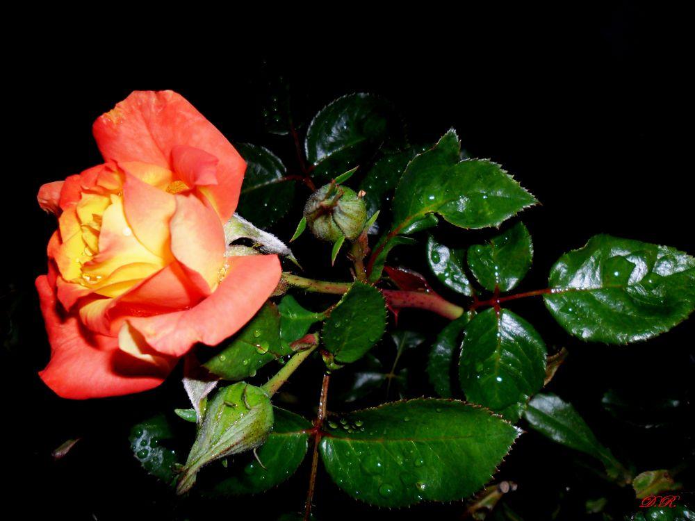rose by Драгана М. Реџић