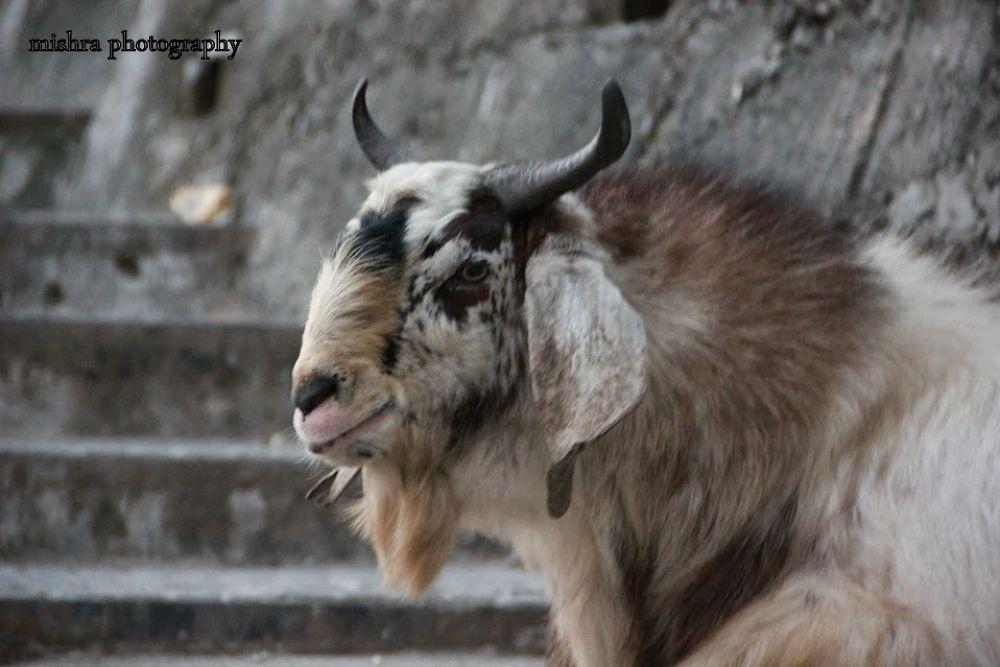 Random(Indian Goat) by Mishra1712