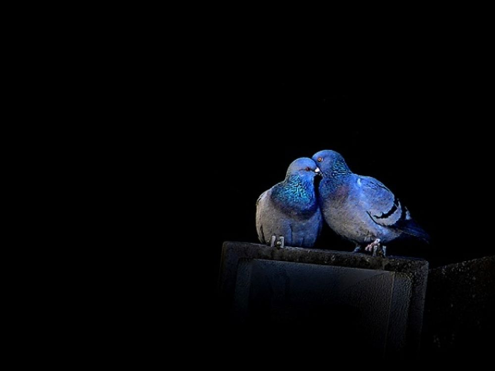 love-picture-blue-pigeons-Darco-TT-love by vevito