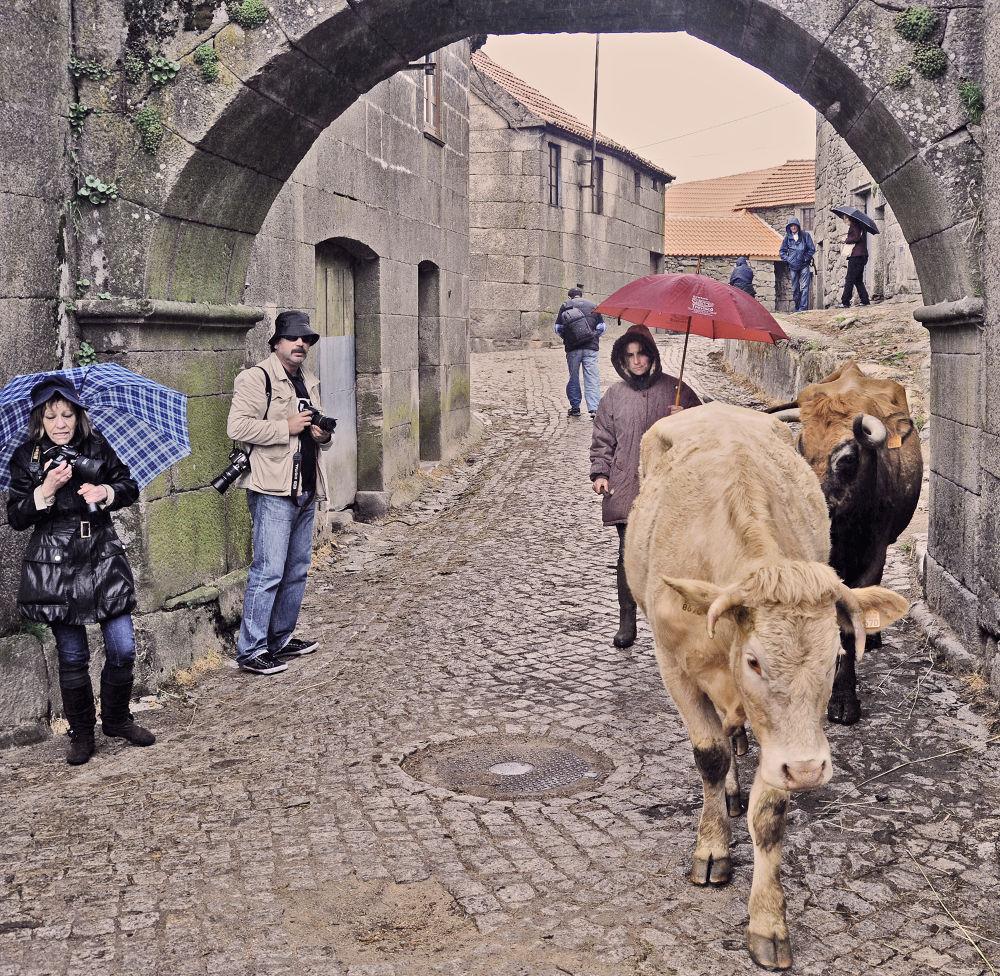 Vacas e fotógrafos by joaomadureiraii