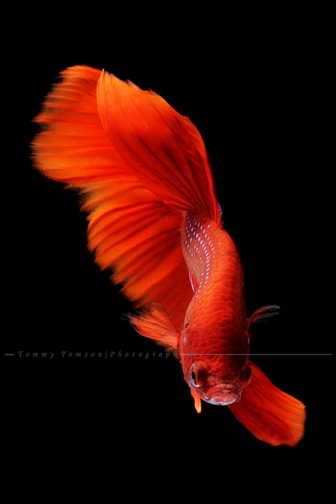 Red by tommytomson56