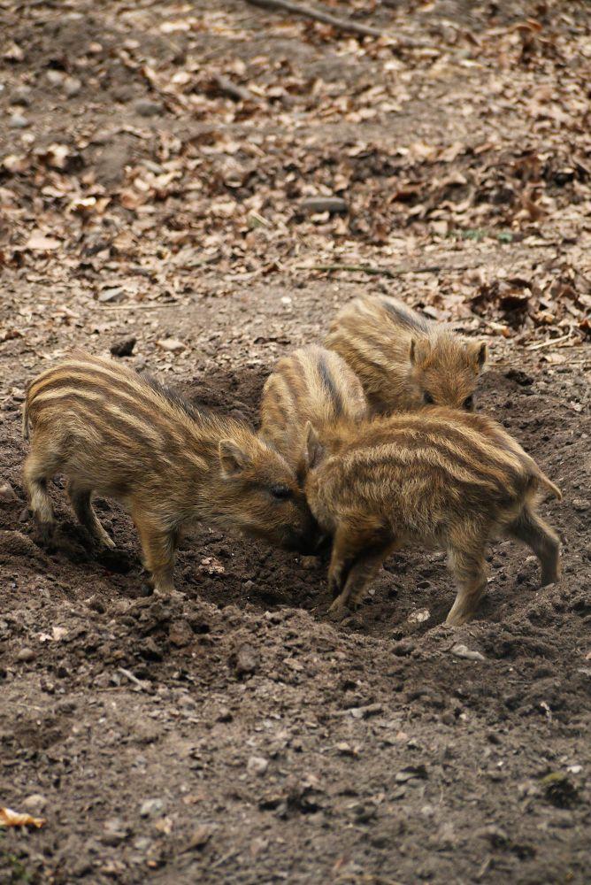 Wild boar piglets by Natura vid