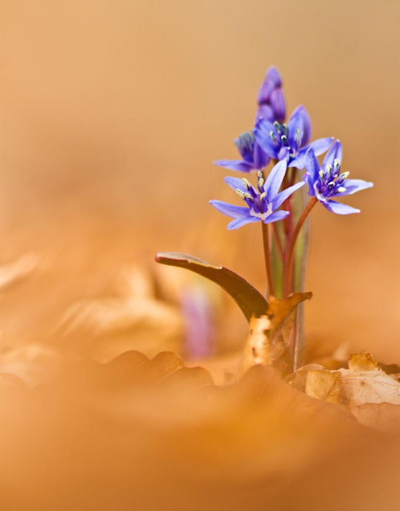 Bluebell by Mykhaylo Bogomaz