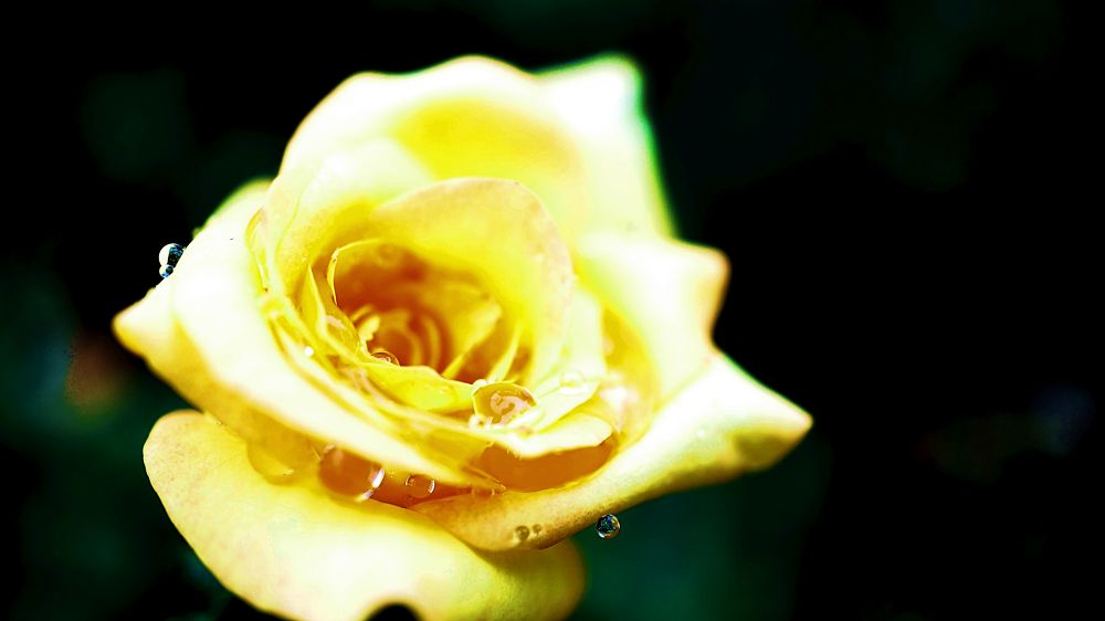 Yellow Rose by Amahl Cerico