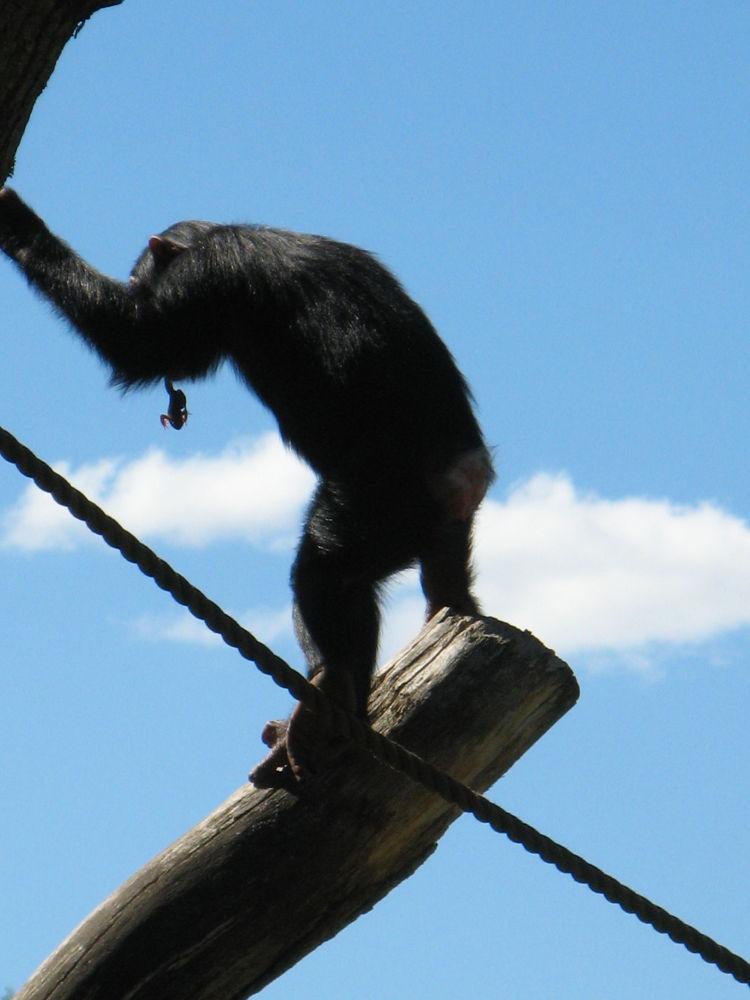 Chimp by ingalillsjogren