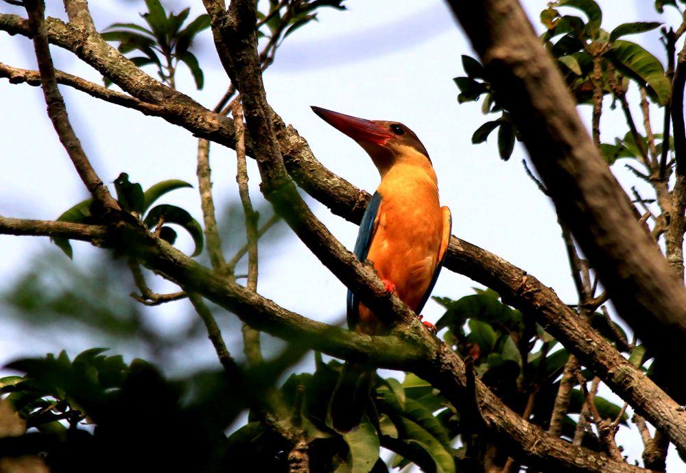 Stork billed King Fisher. by cchakrabarti