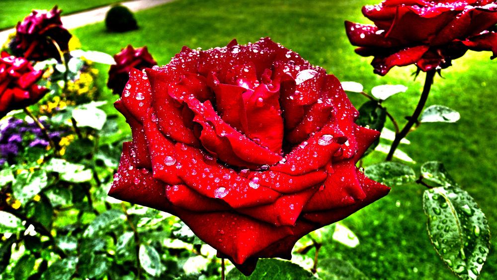 Rote Rosen by Jürgen Cordt