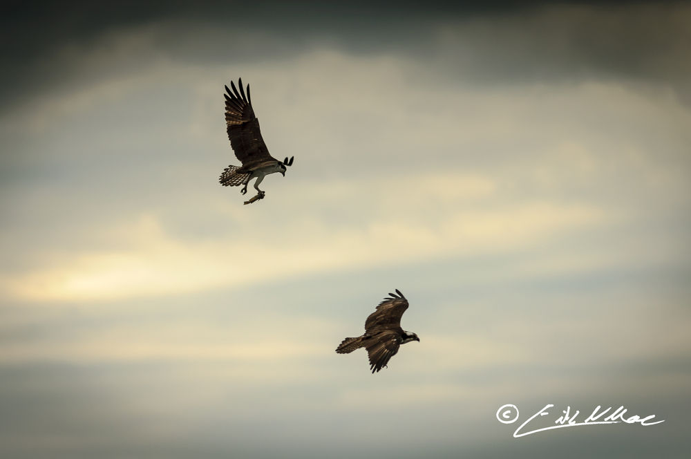 March_27_2013_Double_Osprey_With_Fish (1 of 1).jpg by erikmoore526