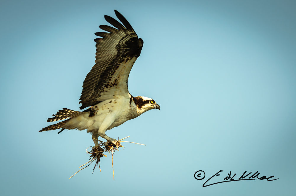 March_27_2013_Osprey_With_Material (1 of 1).jpg by erikmoore526