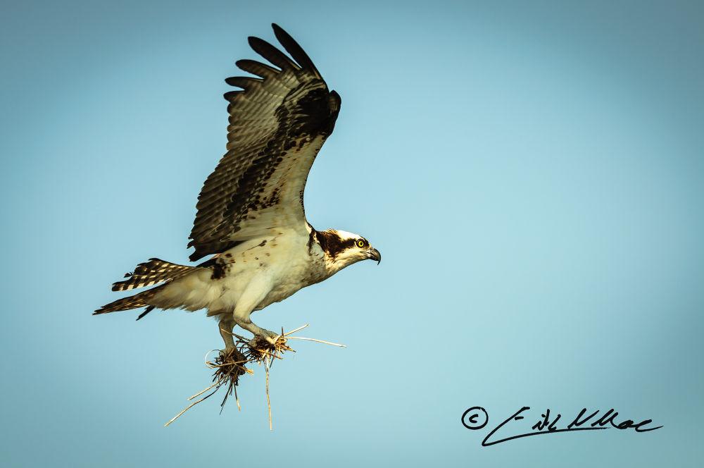 Photo in Random #bird #nature #avian #osprey #raptor