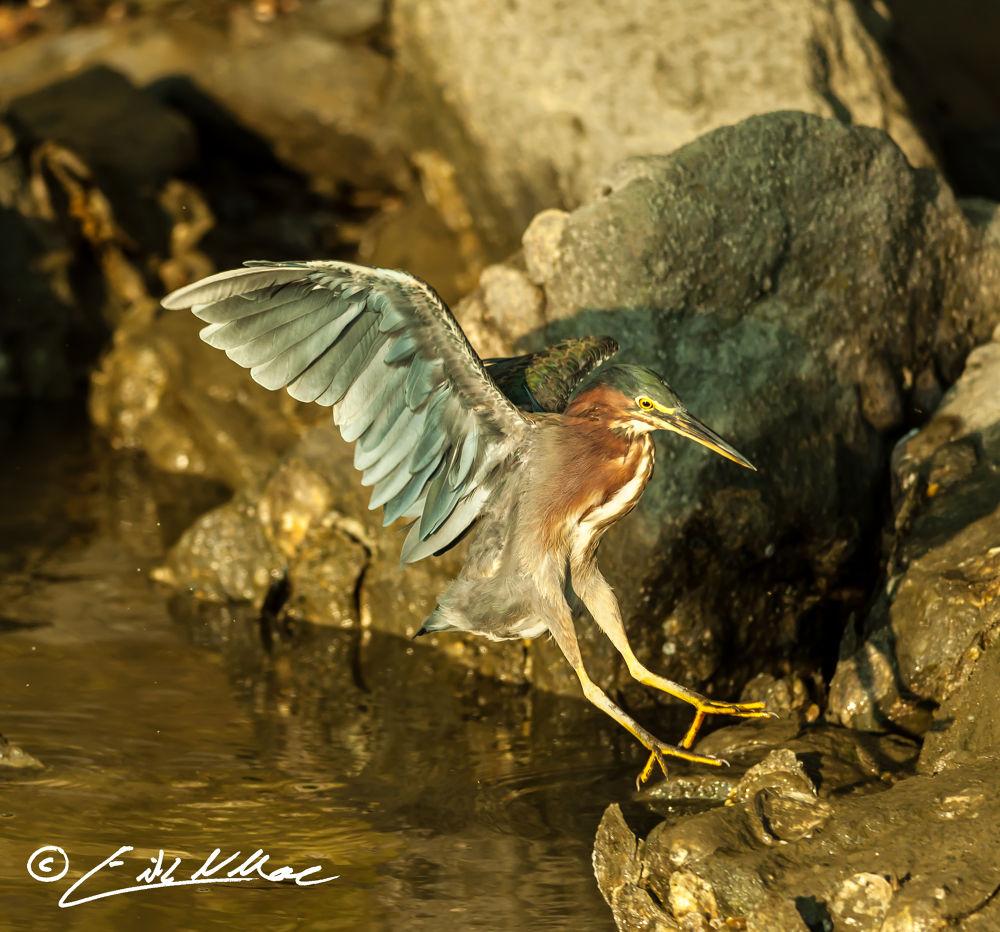 Green Heron Landing (1 of 1).jpg by erikmoore526