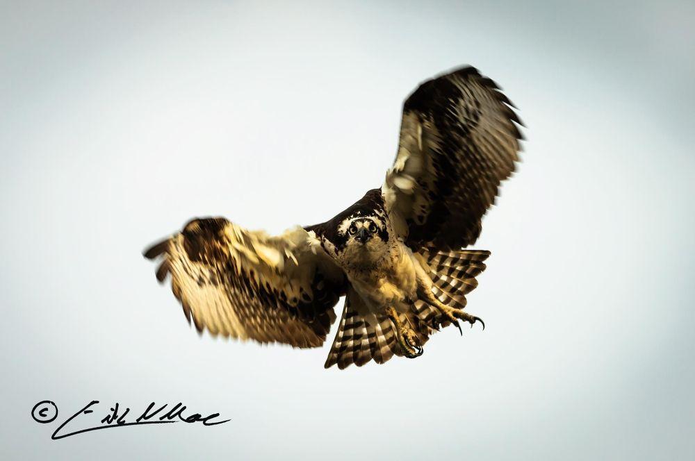 Osprey_001.jpg by erikmoore526