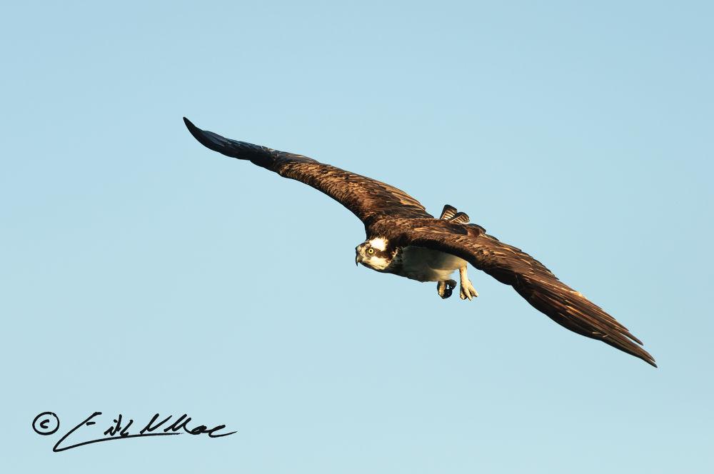 Osprey_Coming_In-244.jpg by erikmoore526