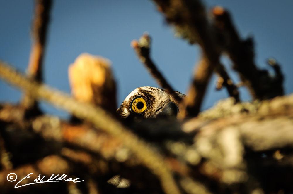 Eye_of_the_Osprey (1 of 1).jpg by erikmoore526