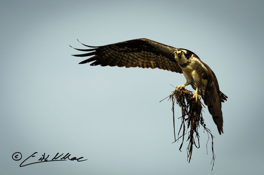 Osprey_with_Grass_01 (1 of 1).jpg by erikmoore526